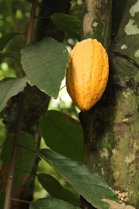 Cacao fruit @ botanical garden