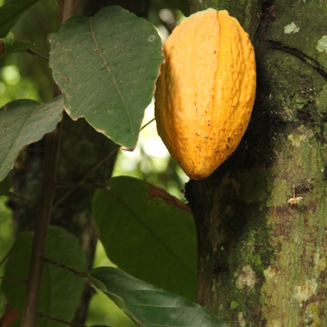 Cacao fruit @ botanical garden