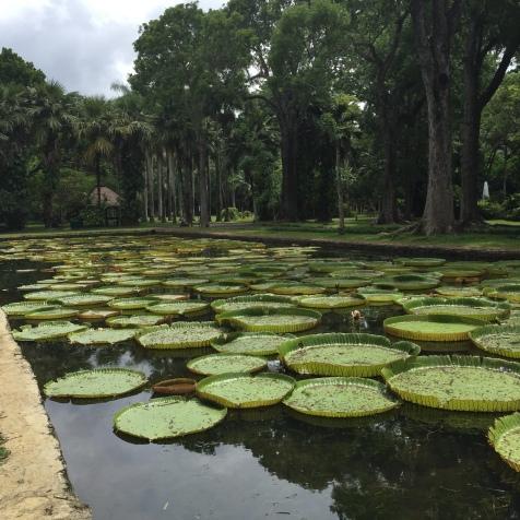 Huge water lilies @ botanical garden Pamplemousse
