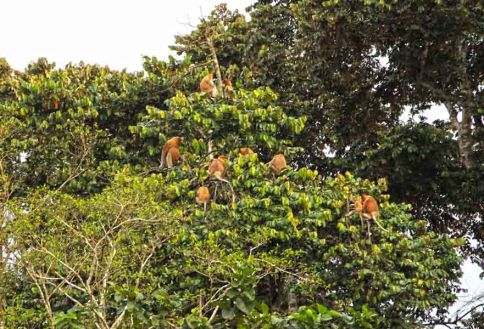 Proboscis monkey in the tree