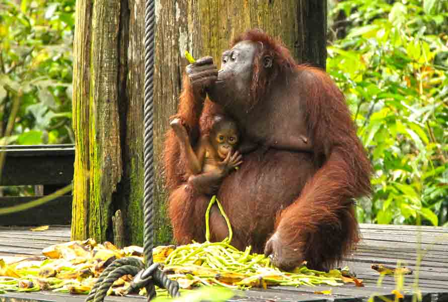 Orang Utan with the little one